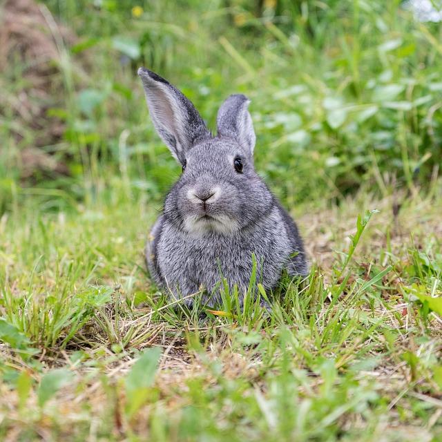 šedý králík