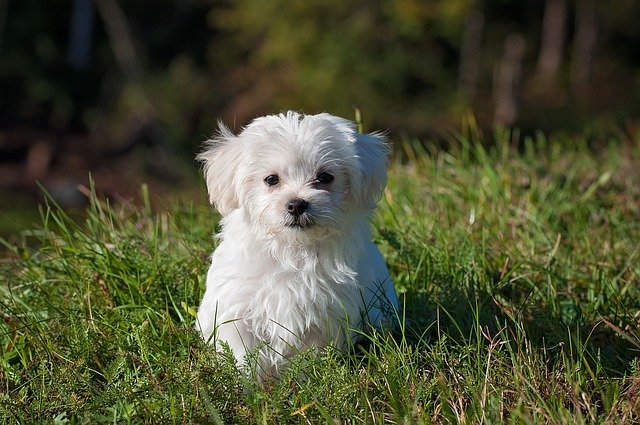 bílý psík.jpg