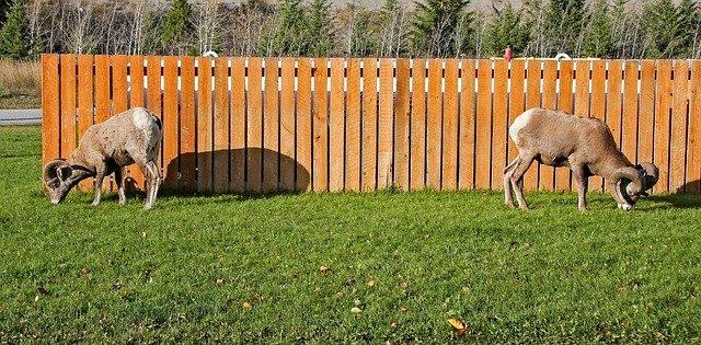 kozy pasoucí se na trávě u plotu
